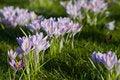Free Purple Crocuses Royalty Free Stock Photo - 19552455