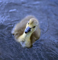 Free New Born Baby Canadian Goslings Royalty Free Stock Image - 19556986