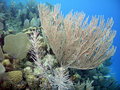 Free Sea Rod W/ Sea Fan Stock Photography - 19557852