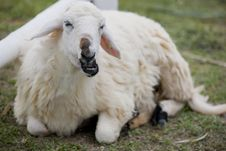 Free Sheep Lie Down On Grass Royalty Free Stock Photography - 19550057