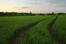 Free Twilight Field Of Crops Royalty Free Stock Photos - 19550608