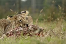 Free Lion Cub With A Prey Stock Images - 19550704