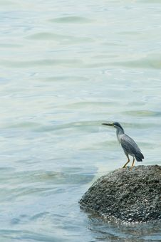 Free Striated Heron On A Rock Stock Photo - 19550710