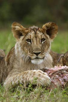 Free Lion Cub Portrait Stock Photography - 19550722