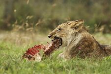 Free Lion Cub With A Prey Royalty Free Stock Photography - 19550727