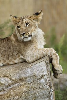 Free Lion Cub Resting Royalty Free Stock Photo - 19550745