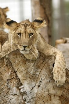 Free Lion Cub Resting Stock Photos - 19550783