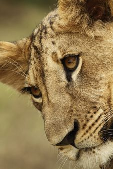 Free Lion Cub Portrait Stock Image - 19550821