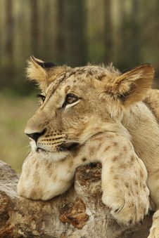 Free Lion Cub Resting Royalty Free Stock Photography - 19550827