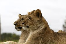 Free Lion Cubs Portrait Stock Photos - 19550873