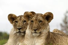 Free Lion Cubs Portrait Stock Photos - 19550883