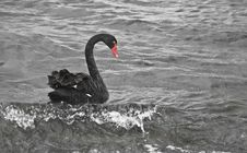 Free Black Swan Riding Sea Surf Stock Photography - 19551812