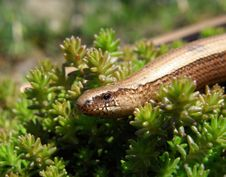 Free Slow Worm Stock Images - 19552114