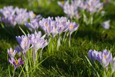 Free Purple Crocuses Royalty Free Stock Photo - 19552455
