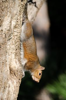 Free Squirrel Stock Photography - 19553222