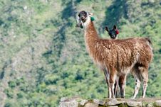 Free 2 Llamas At Machu Picchu Royalty Free Stock Images - 19553969