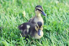 Free Springtime Ducks Royalty Free Stock Photo - 19554465