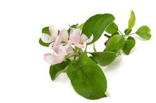 Free Branch Of A Flowering Apple Tree Royalty Free Stock Image - 19554736