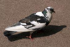 Free Pigeon Royalty Free Stock Image - 19554856