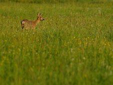 Free Roe Deer (Capreolus Capreolus) Stock Photos - 19555123