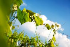Free Grapevine Plant Close Up Above Blue Sky Stock Image - 19555451