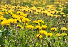 Free The Field Of Dandelions. Royalty Free Stock Photography - 19555517