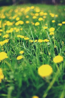 Free Spring Meadow With Dandelions Royalty Free Stock Photography - 19556657