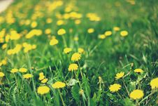 Free Spring Meadow With Dandelions Royalty Free Stock Image - 19556666
