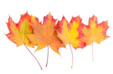 Free Autumn Maple Leaves Stock Photography - 19556832