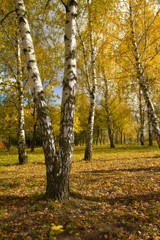 Free Birch Grove In Autumn Royalty Free Stock Images - 19557229