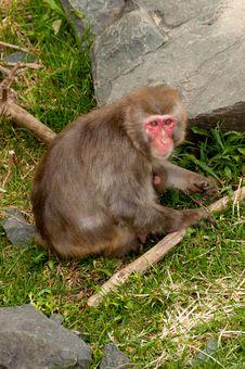 Free Mother Monkey Royalty Free Stock Photo - 19558335
