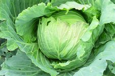Free Green Cabbage Stock Photography - 19558662