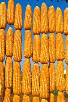 Free Corn In Row Stock Image - 19559011