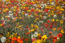 Free Poppy Field Royalty Free Stock Images - 19559119
