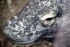 Free Close Up Of Komodo Dragon Royalty Free Stock Images - 19559639