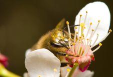Honeybee Pollinating Flowers Stock Photo