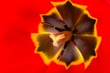 Red Tulip Royalty Free Stock Photos