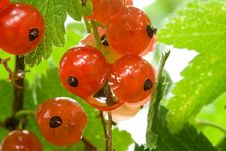 Free Ripe Red Currant Royalty Free Stock Image - 19559786