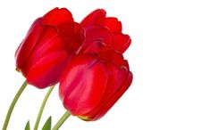 Three Red Tulips Stock Image