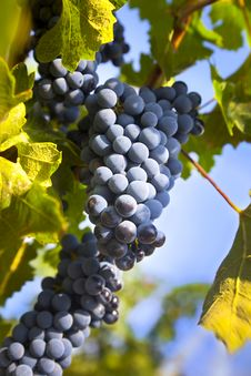 Free Grapes On The Vine / Summer Stock Images - 19559994