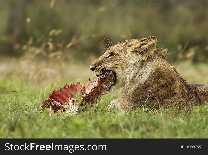 Lion cub with a prey