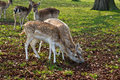 Free Two Fawns Eating Stock Image - 19568561