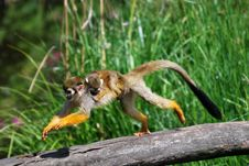 Free Common Squirrel Monkey Royalty Free Stock Photos - 19560488