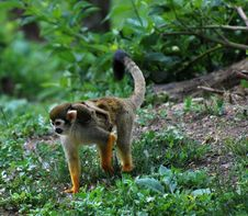 Free Common Squirrel Monkey Stock Image - 19560911