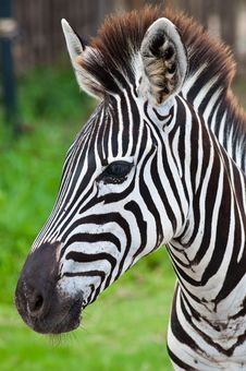 Free Head Of Zebra In Green Field Royalty Free Stock Image - 19566006