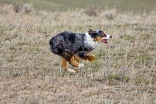 Free Racing Australian Shepherd Stock Photo - 19566510