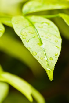 Free Green Leaves With Droplets Royalty Free Stock Photos - 19567368