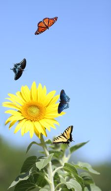 Free Sunflower With Butterflies Royalty Free Stock Image - 19568566