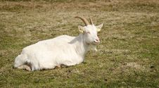 Free White Goat Resting Royalty Free Stock Images - 19569739
