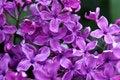 Free Lilac Stock Photo - 19576900